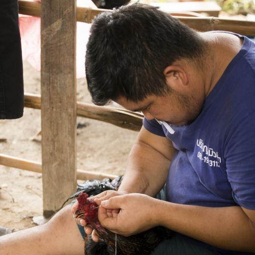 Thajsko, kohutie zapasy